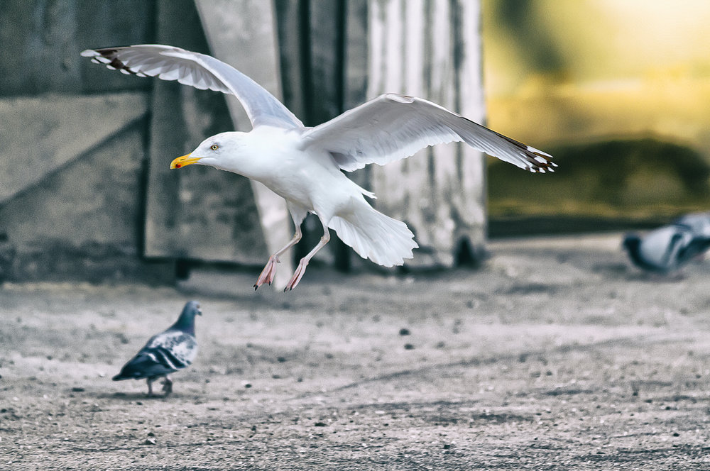 Seagull arriving Read about The European herring gull Comments