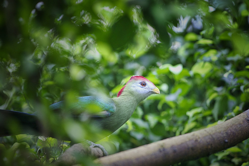 Don't be shy Read about The red-crested turaco (Tauraco erythrolophus) Comments