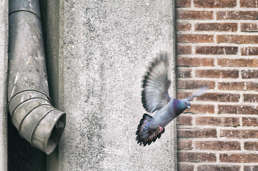 Airborne Read about The Pigeons/doves Comments
