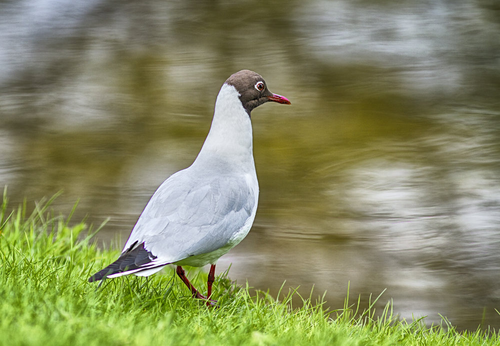 I will stand here waiting for a fish to come by Read about The Black-headed gull Comments