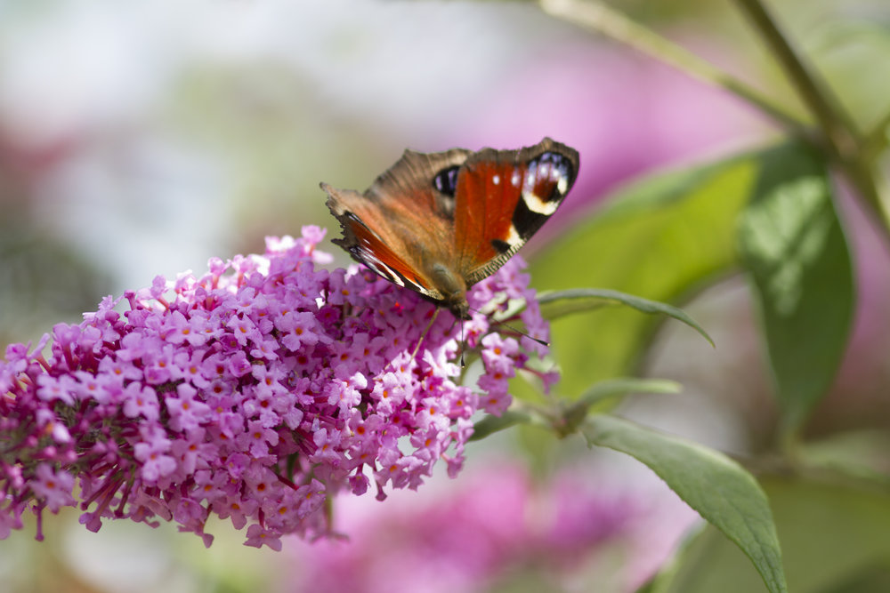 Pink summer Read about The European Peacock (Aglais io) Comments