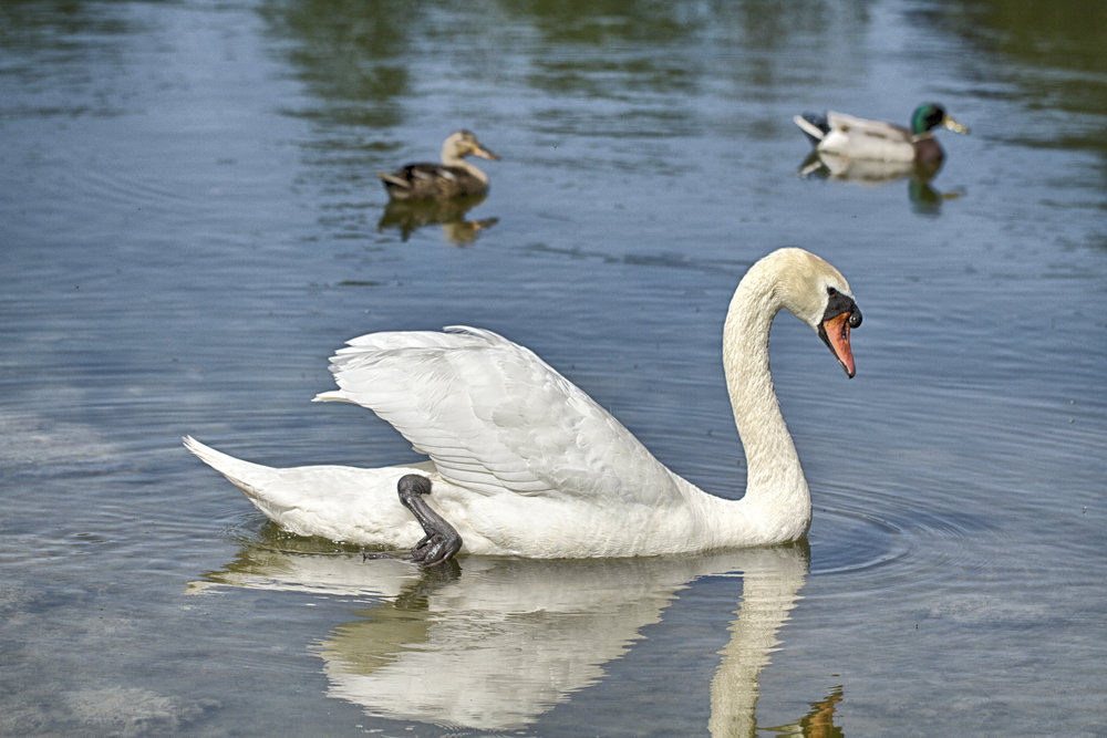 Always majestic ....after all the Danish national bird Read about The mute swan Comments