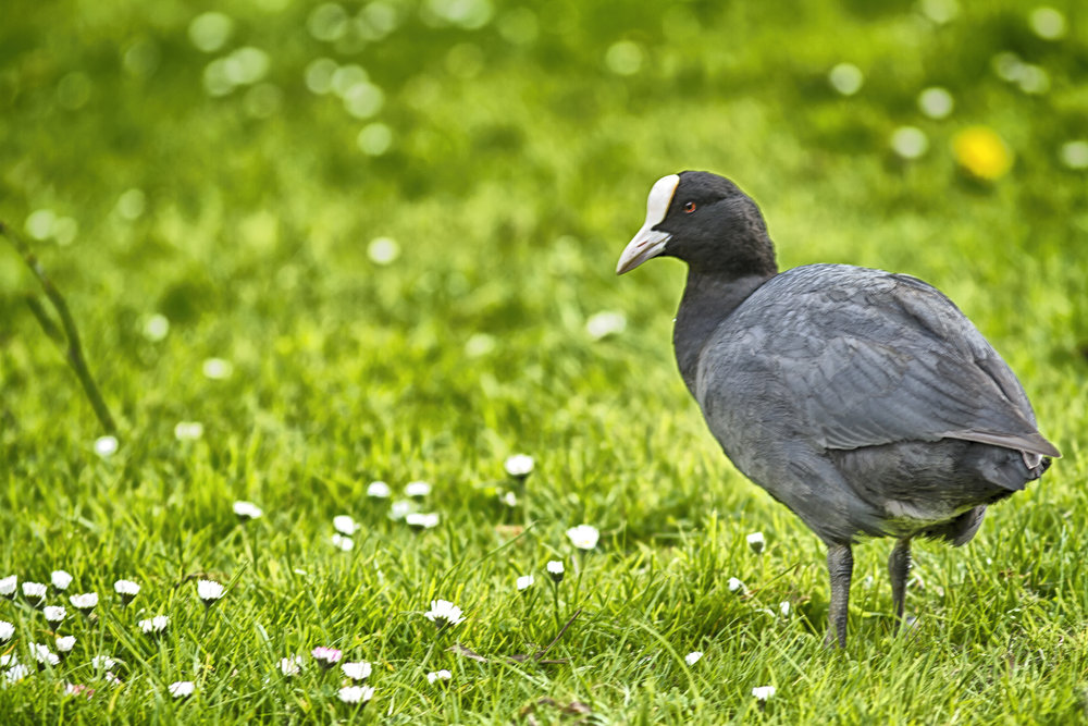 Land or water no difference Read about The Eurasian coot Comments