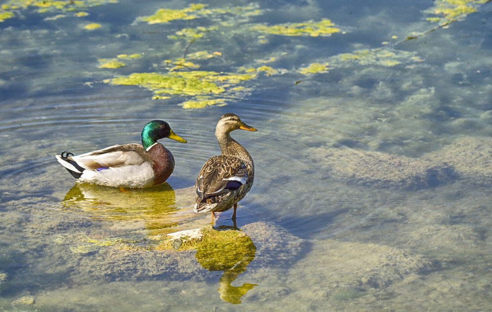 A lazy Sunday afternoon Read about The mallard Comments