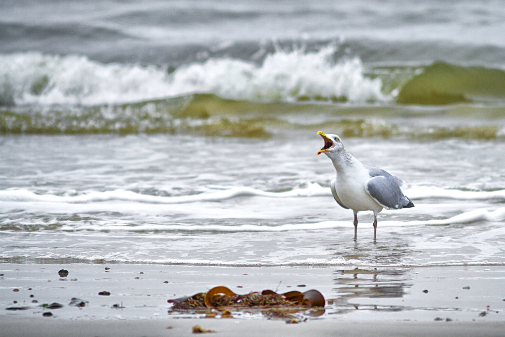 HERBERT ...get over here now Read about The European herring gull Comments