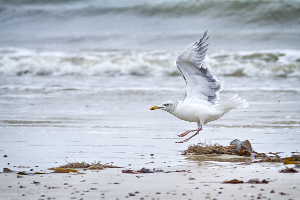 Just wait and I'll be up there flying Read about The European herring gull Comments