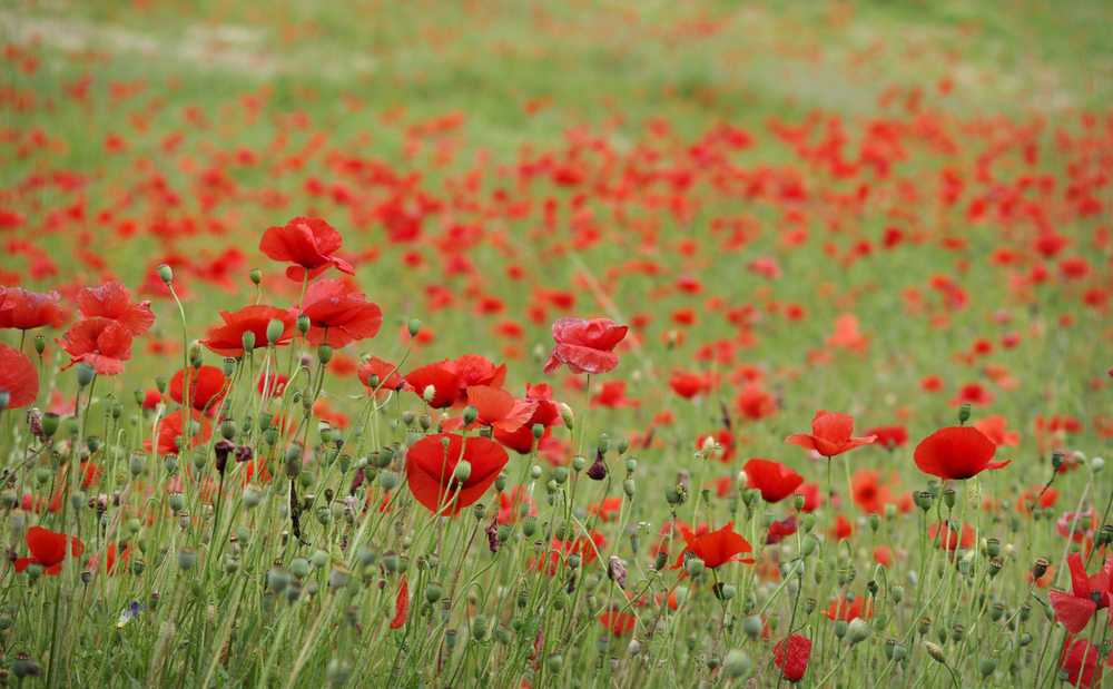 JJShoots - Poppies.jpg