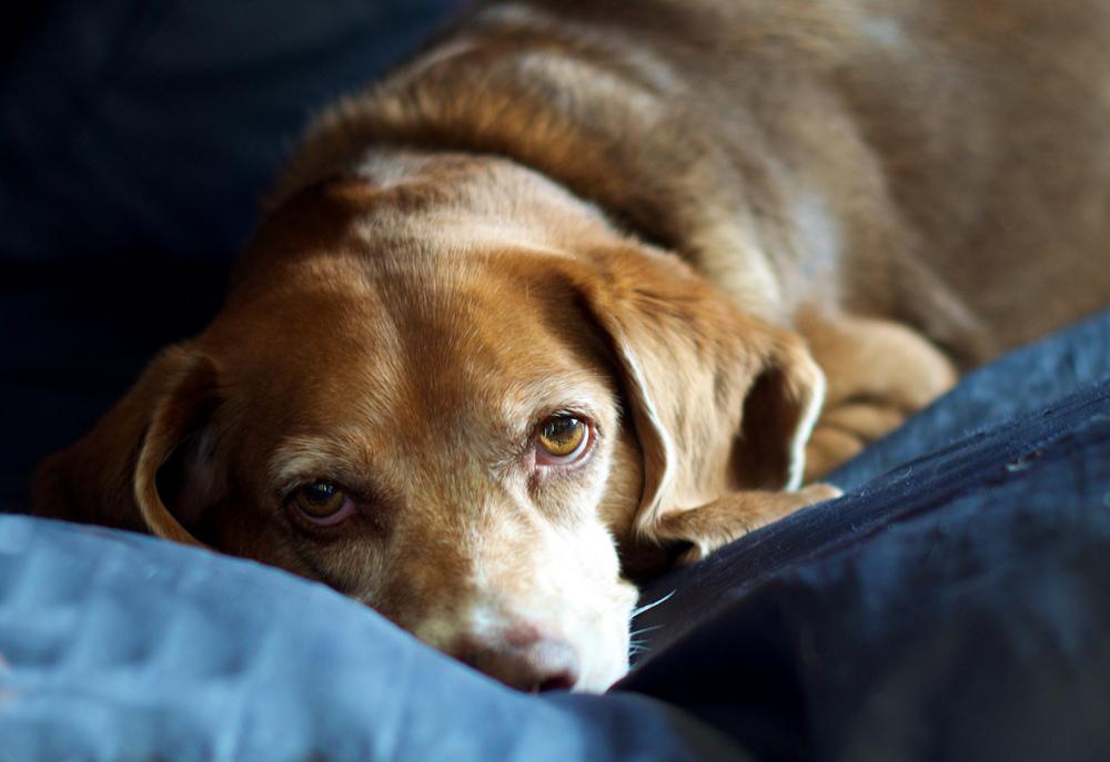 Bailey Resting