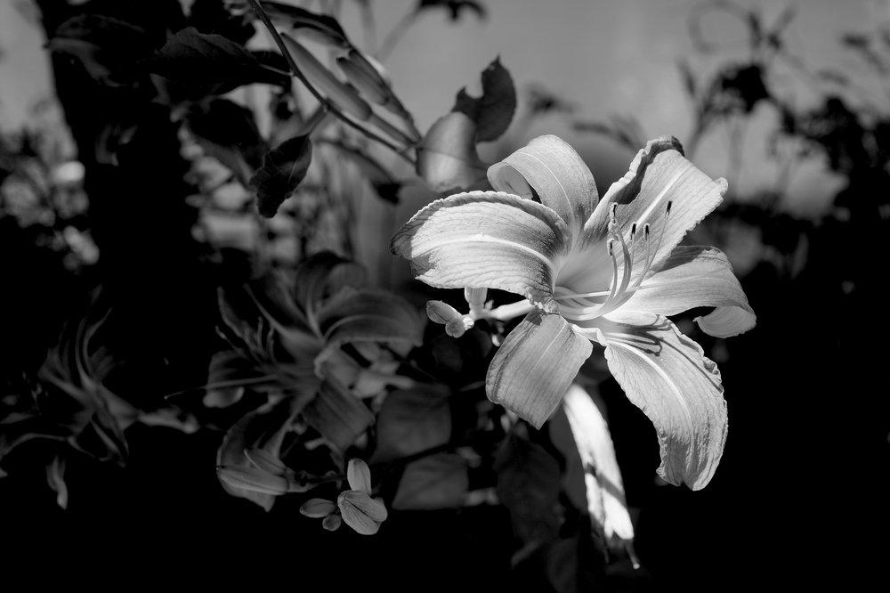 black and white in the sun flower.jpg