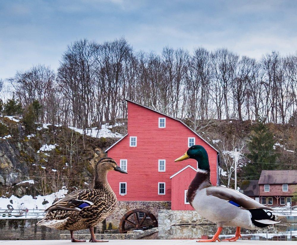 Duck couple at the Red Mill