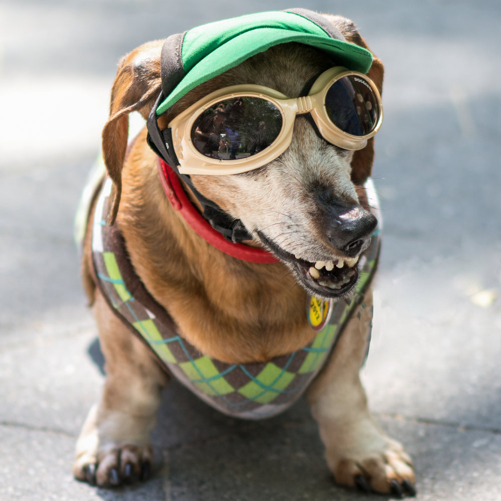 A well-dressed beagle