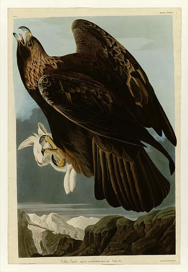 Figura 5.  Ilustração de águia-real ( Aquila chrysaetos ) apresentada na obra  Birds of America  (Audubon, 1827-1838)  Autor:  John James Audubon  Fonte:   https://commons.wikimedia.org/wiki/File:181_Goldon_Eagle.jpg