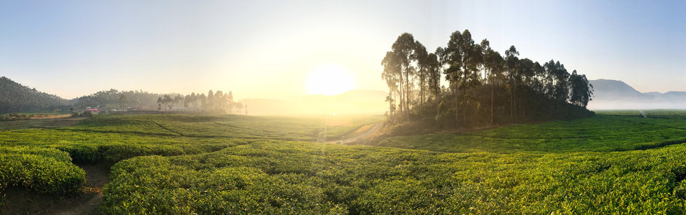 Morning in the tea fields of Rwanda with the iPhone 7 Plus.