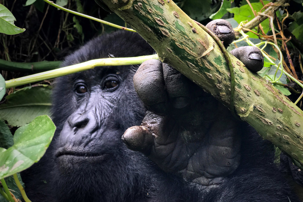 These silverbacks spend all day tearing up plants, eating bamboo, and beating their chest. It's a rare and special experience to witness them in the wild.