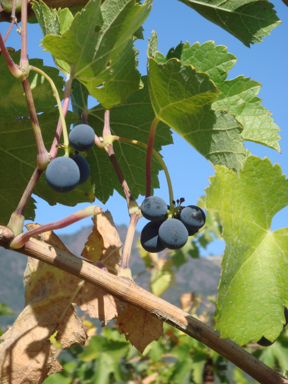 Grapes in a vineyard in Sonoma Valley, California