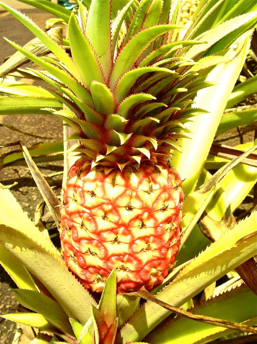 Don't Touch The Pineapple! How to Get Arrested in Hawaii