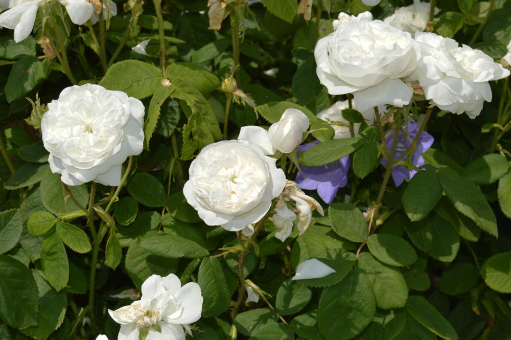 White Roseslowres.jpg