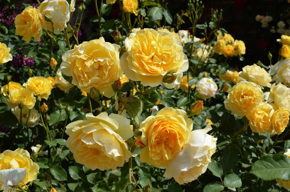 ROSES1lowres.jpg