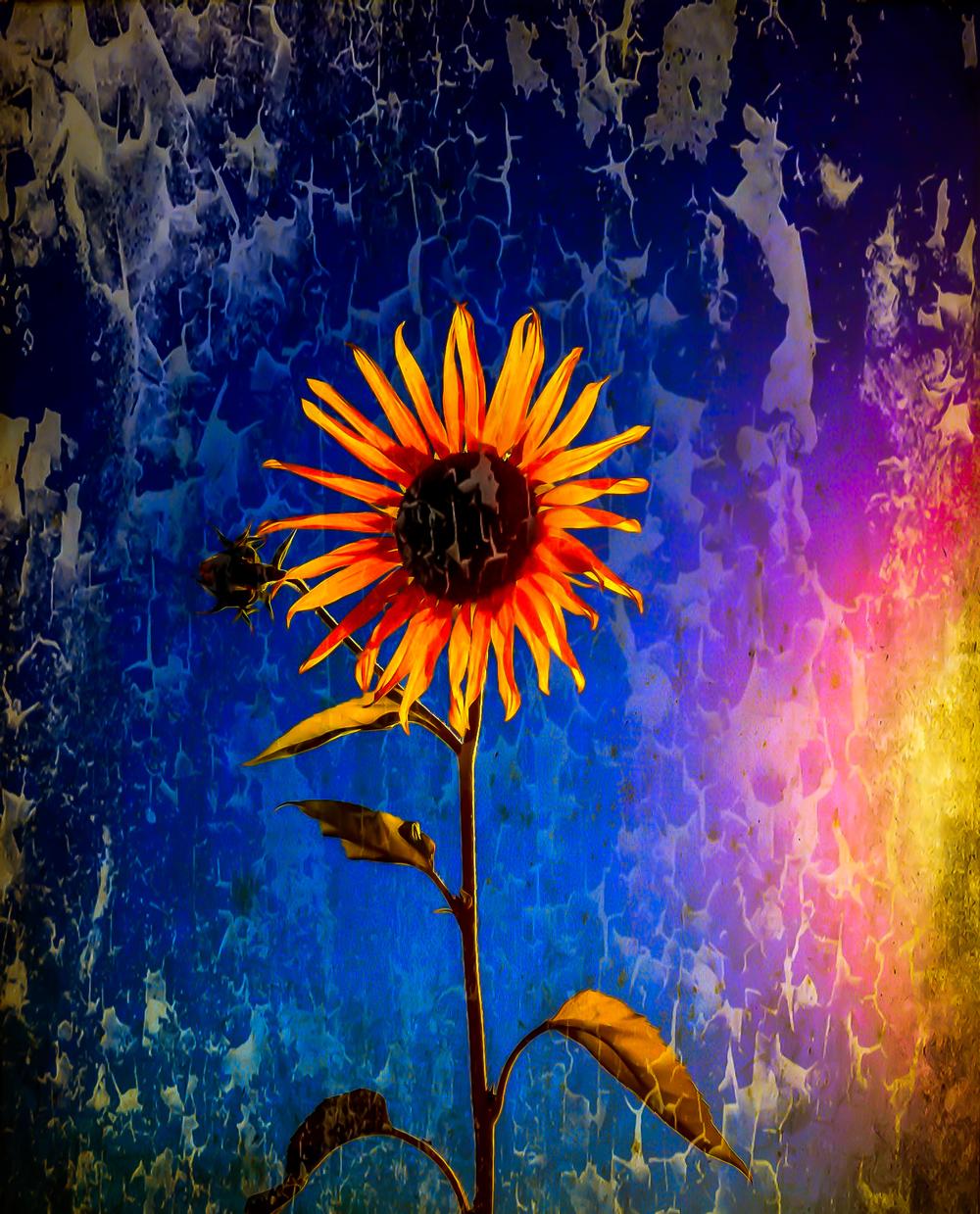 Sunflowers, Spokane Valley, Washington