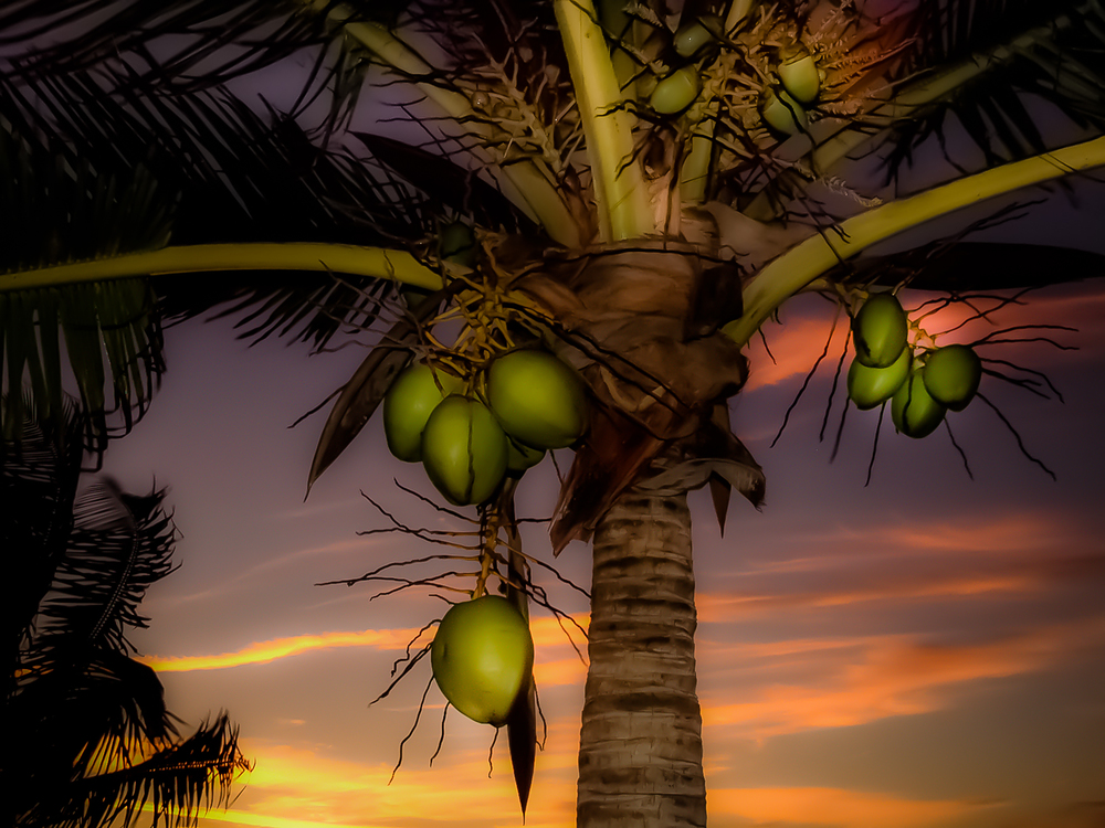 Akumal coconuts at sunrise over the Caribbean Sea