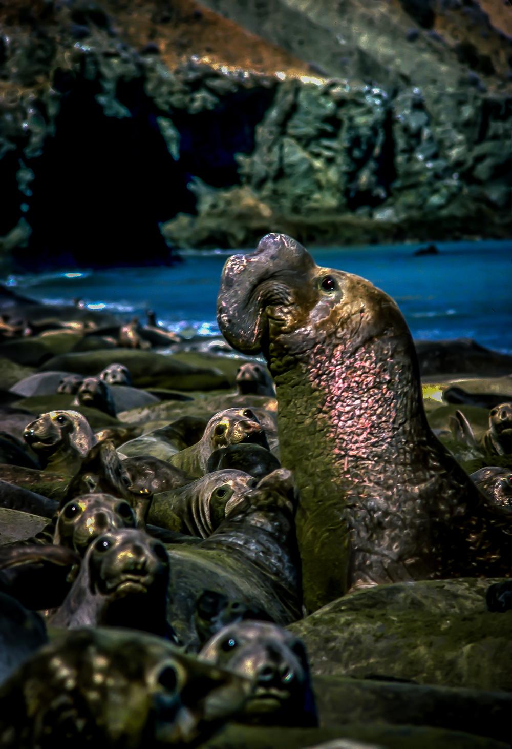 Elephant Seal Colony, Isla Cedros, Baja California