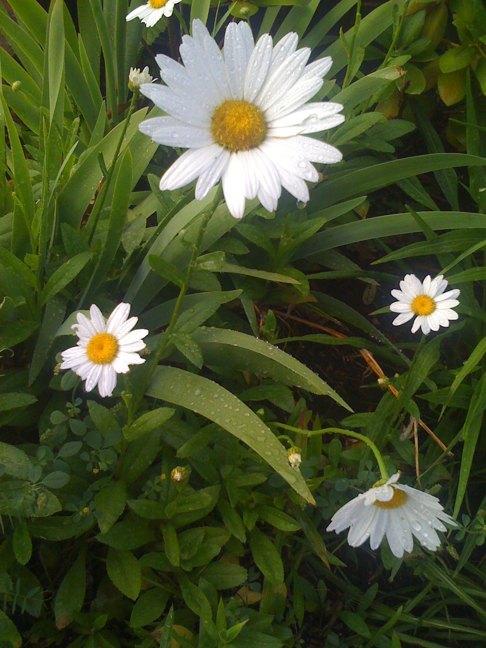 Daisies by ivy Nevares