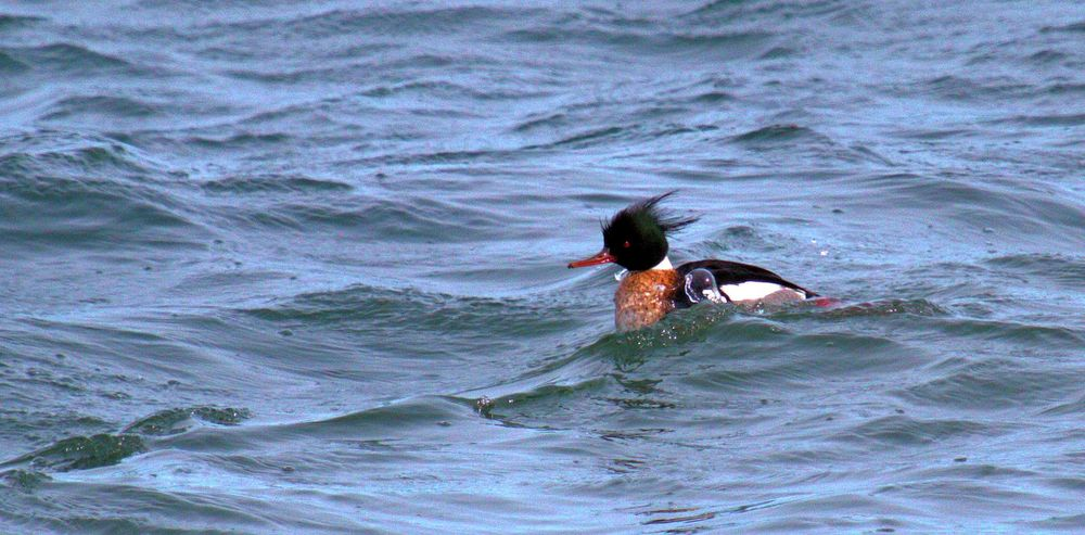 Red-breasted merganser in Halifax Harbour