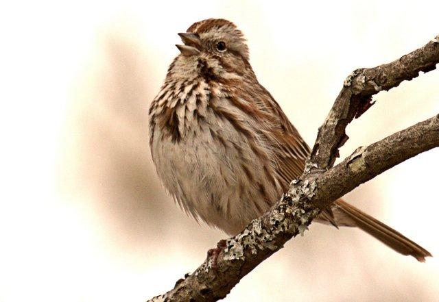 sparrow edited.jpg