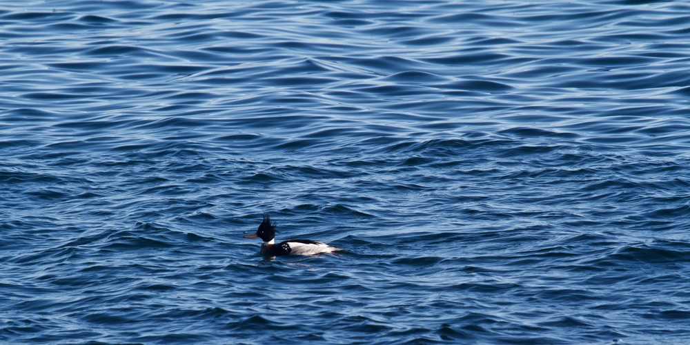 Merganser and water