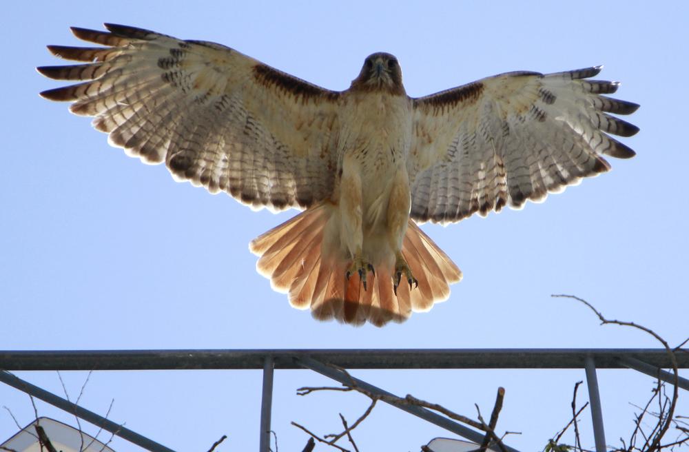 Hawk.jpeg