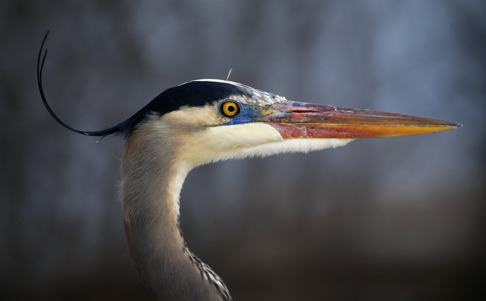 A Great Blue Heron perches on the side of the McDaniel Lake bridge.