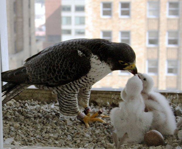 Princess Feeding Her Chicks