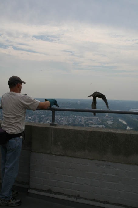 A naturalist releases a young falcon from the top of the Carew Tower.
