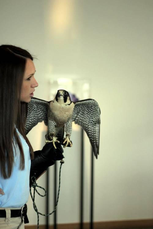 Abby Bramlage from the Ohio Bird Sanctuary talks about Legacy, the peregrine falcon