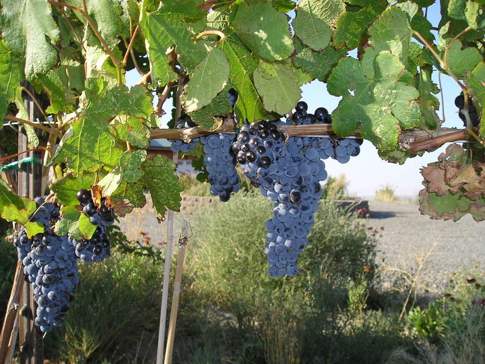2005 grapes.jpg