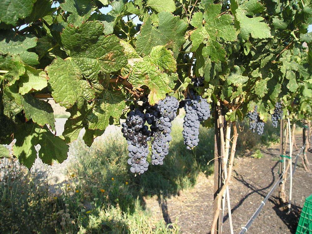 2006 grapes.jpg