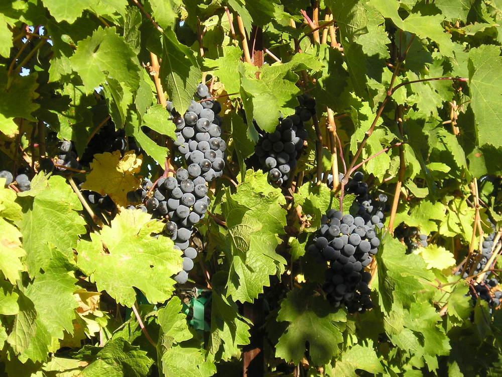 2006 grapes 2.jpg