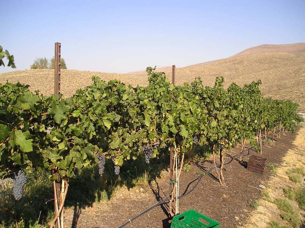 vineyard 2006.jpg