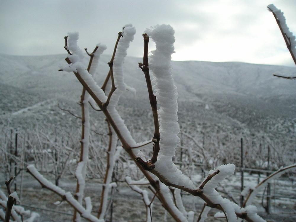 vineyard horeforst 2005.jpg