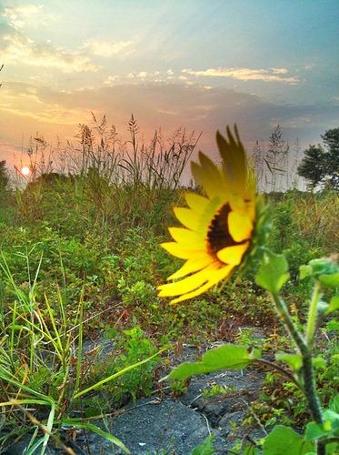 sunflowersunrise-t