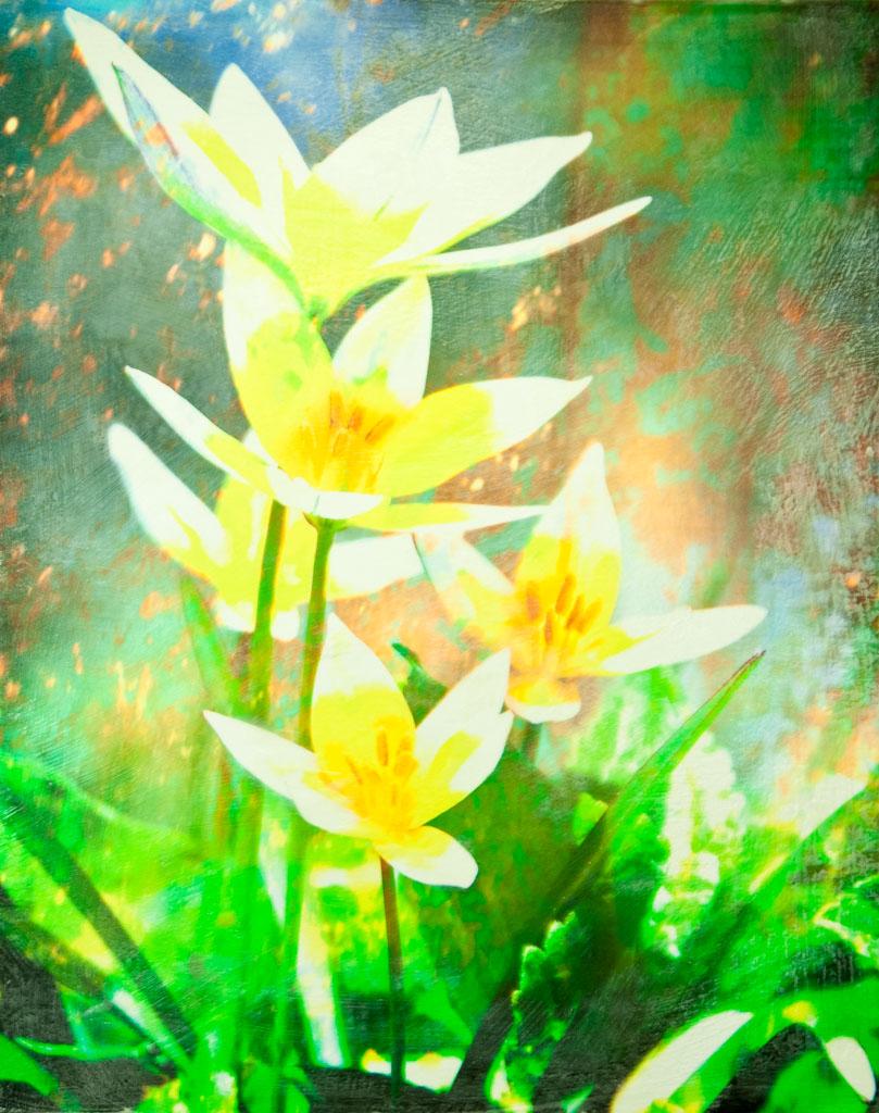 Tarda Tulips © Julie Clark