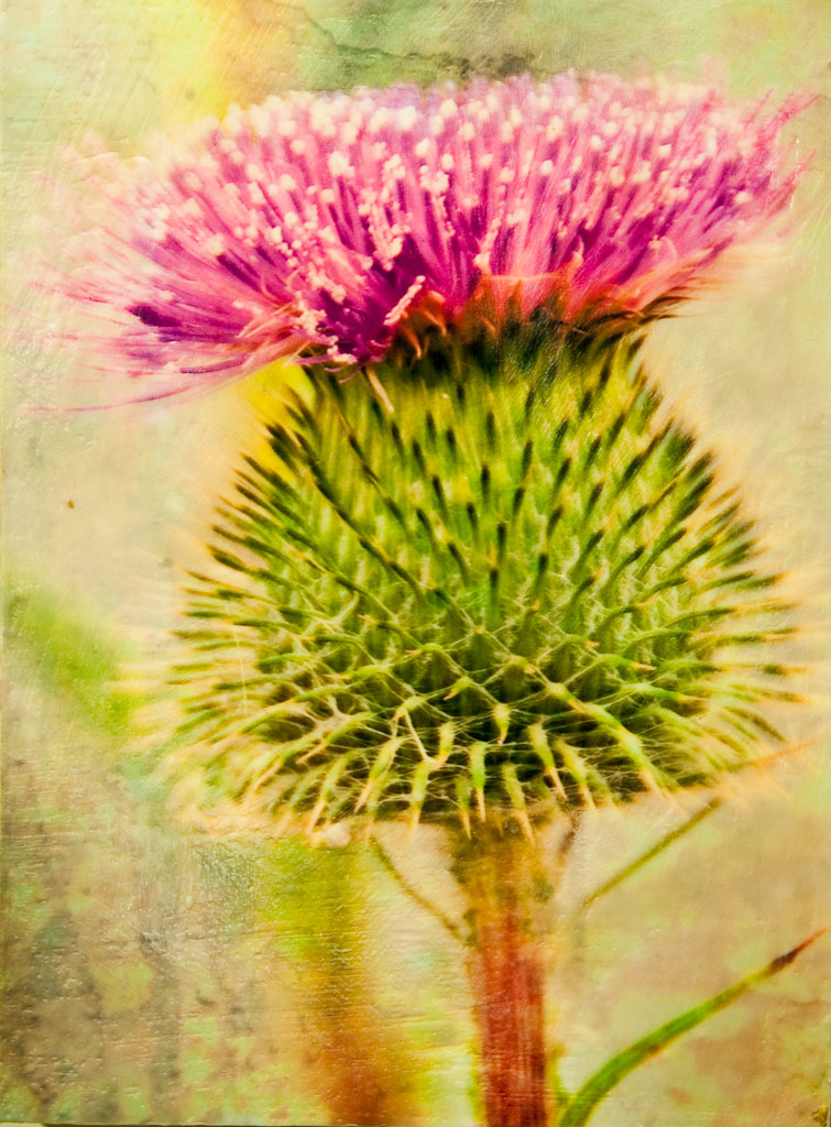Scottish Thistle.jpg
