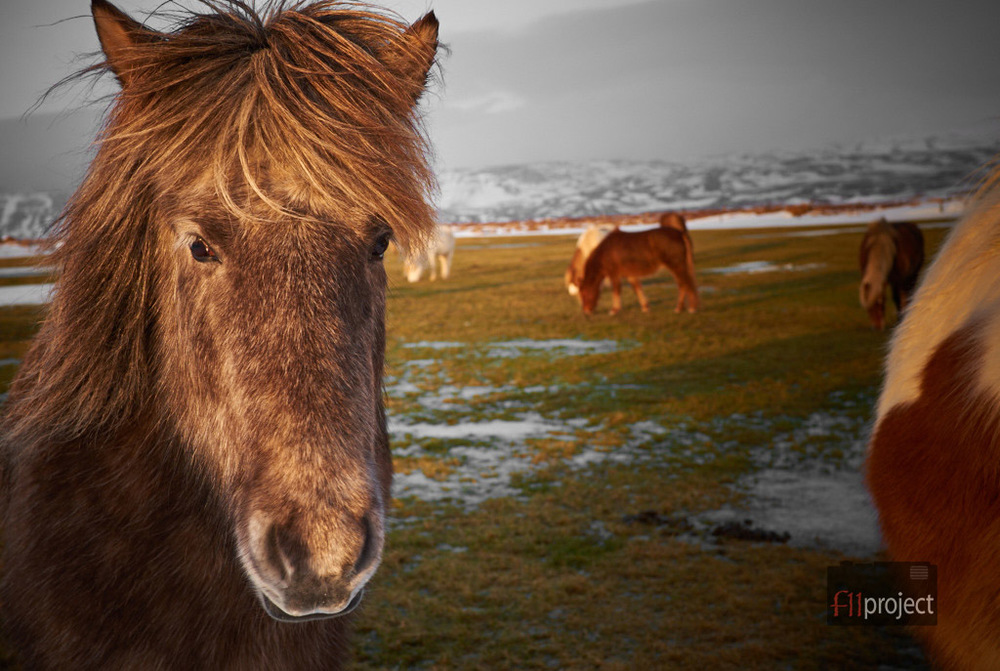 Friendly Icelandic horse
