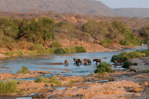 The greater Tsavo ecosystem extends way beyond the borders of the officially protected National Parks and comprises surrounding dispersal areas for wildlife, including large herds of elephant. Community Wildlife Conservancies allow resident communities to benefit from the presence of these animals, rather than paying the often heavy price for hosting them without any recompense.