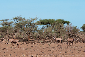 Wildife, such as these Fringe-eared Oryx photographed in Tsavo West, have evolved over millennia to thrive in harsh arid environments. In many cases, conservation-based enterprises can provide diverse livelihood options for communities living with wildlife adjacent to the National Parks.