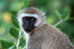 vervet monkey in Tsavo, Kenya