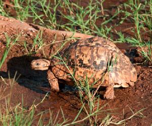 Tortoise in Tsavo, Kenya