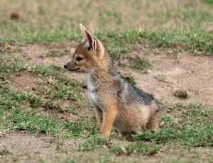 jackal pup, Kenya