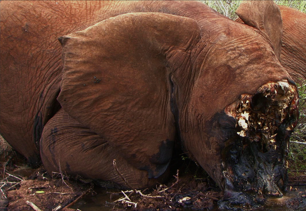poached elephant killed for ivory in greater  tsavo ecosystem