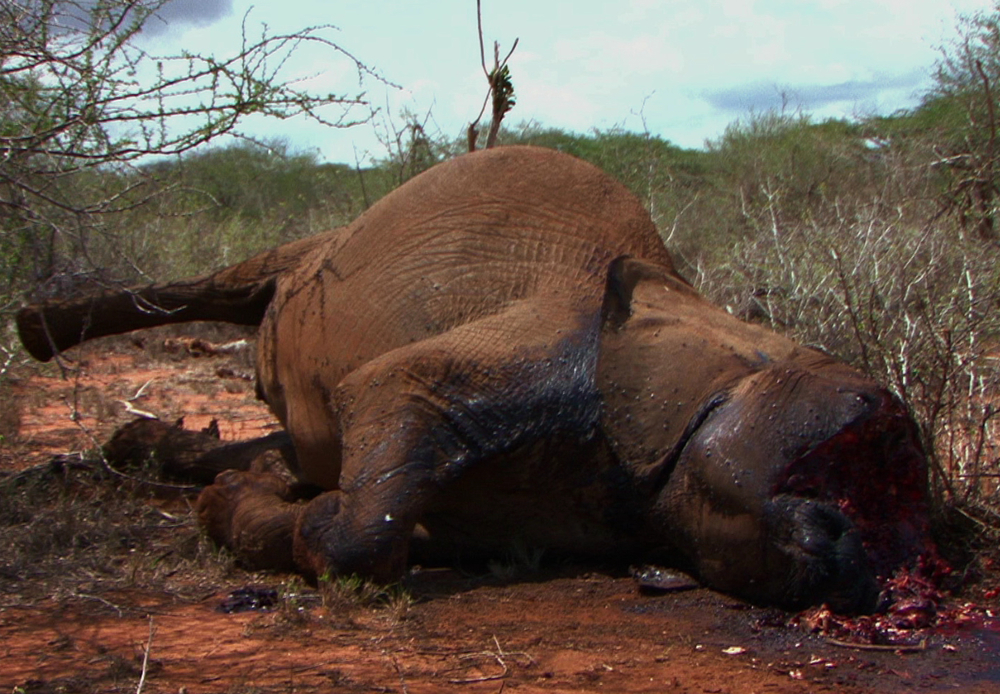 killed for ivory - a poached elephant in the greater tsavo ecosystem
